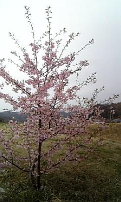 満開河津桜20080323