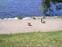 鴨の夫婦1