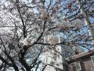 市役所北側の桜