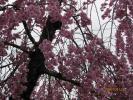 しだれ桜をアップにしてみました