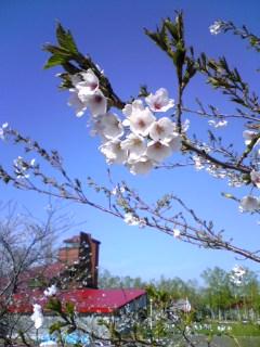 余市川堤防の桜その 1