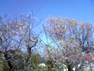 余市川堤防の桜その 2