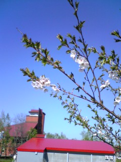 余市川堤防の桜その 4