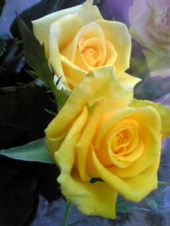 内田バラ園さんの「黄色いバラ」