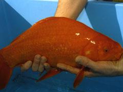 世界最大の金魚