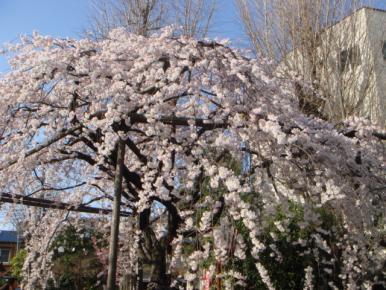しだれ桜!