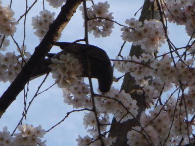 桜をついばむ鳥ちゃん