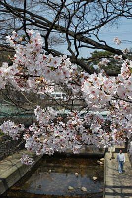 夙川公園の桜