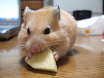 リンゴに挑むでチュ!