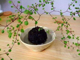 BLOG2009_0530三日月豆0012