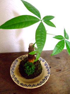8月観葉植物の苔玉