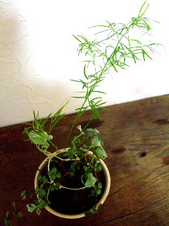 8月観葉植物の苔玉1