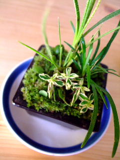 マイ草盆栽1