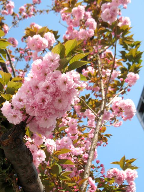 桜似の花は