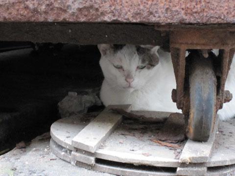 築地の白猫