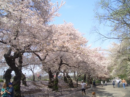 ポトマック河畔の桜