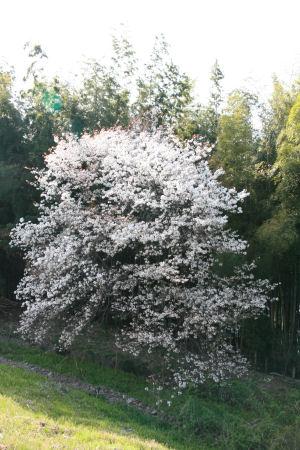 【花見】桜の大木