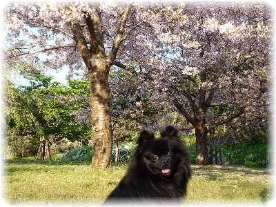 鶴見緑地・桜2