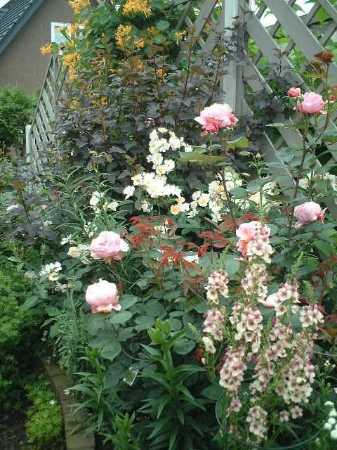 バラとバーバスカム、ロニセラ