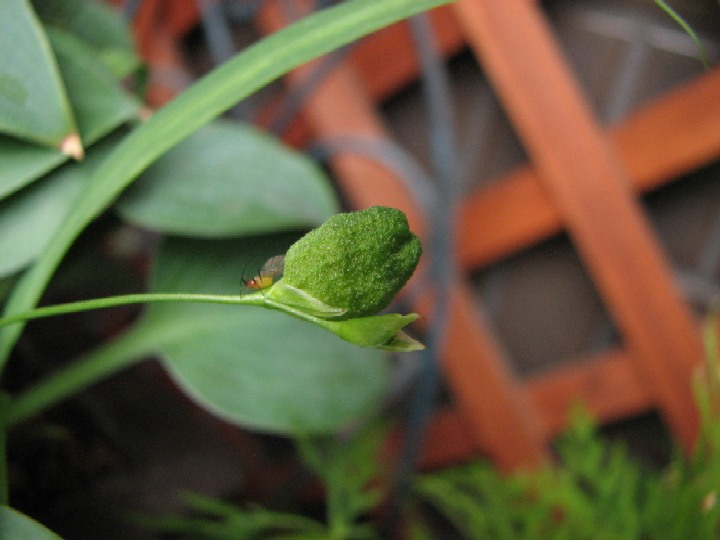 角鉢のヒメヒオウギ(タネ)