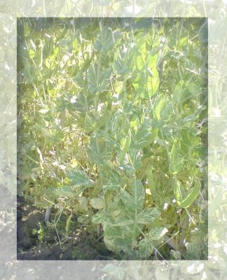 スナックエンドウの収穫2009-01