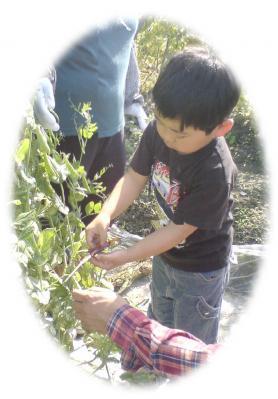 スナックエンドウの収穫2009-02