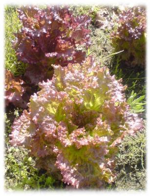 サニーレタスの収穫2009-01