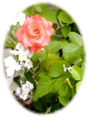 ミニ薔薇01