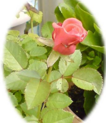 ミニ薔薇2009ー02