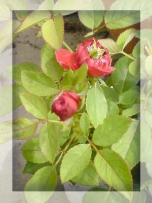 ひよこちゃんからの薔薇2009ー01