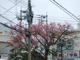 sakura沖縄