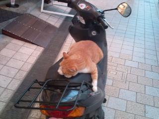 12500850020 道後の商店街で原付に乗った猫発見