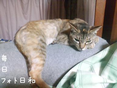 D1006392 目つきの悪い猫