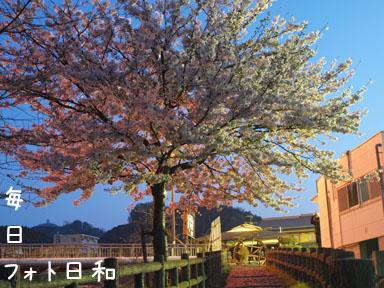P4060690 夜桜再び