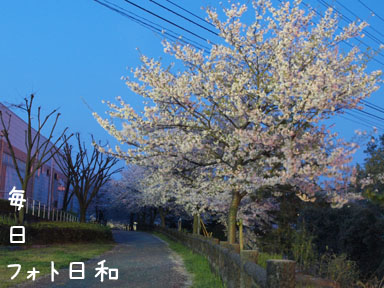P4060694 夜桜再び