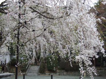 野依八幡神社枝垂れ桜 015