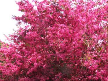 紅花マンサク