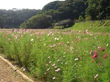 kosumosubatake.jpg