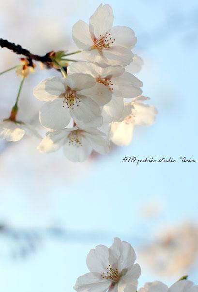 sakura (6)