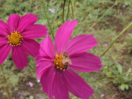 コスモス ミツバチ