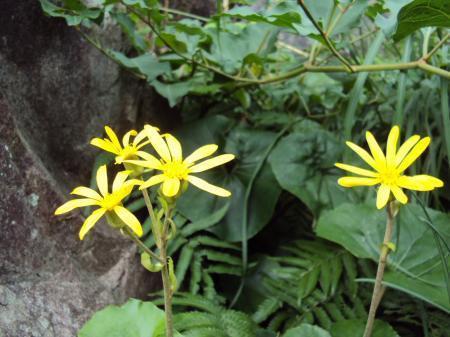 つわぶき花