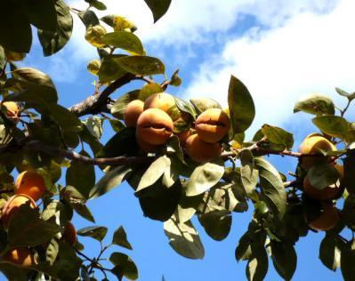 日記11・1柿の木1