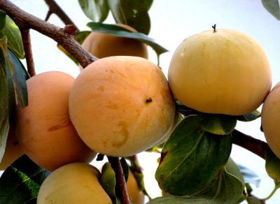 日記11・1柿の木2