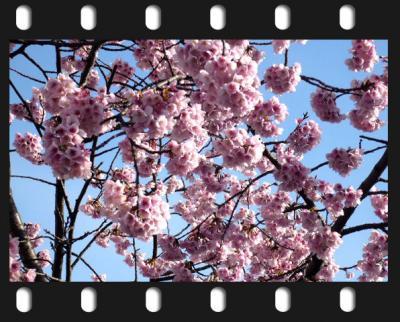 日記3・16早咲き桜1