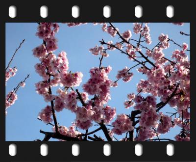 日記3・16早咲き桜2