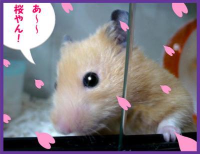 日記3・16早咲き桜3