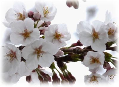 日記3・28桜2