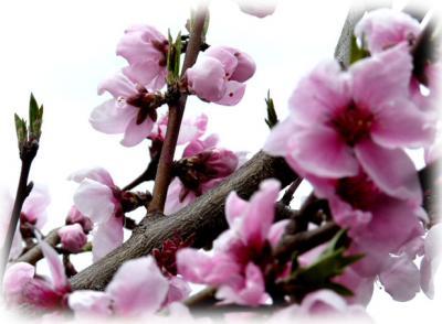 日記3・28桜桃1