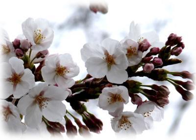 日記3・28桜1