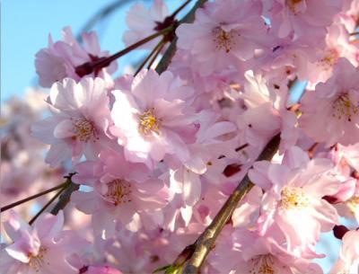 日記4・13しだれ桜2